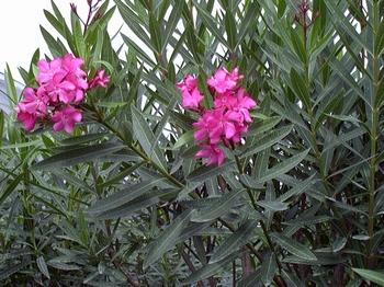 Nerium Oleander - Leander saksija o17cm