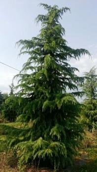 Himelajski kedar - saksija 15-30 cm  kom