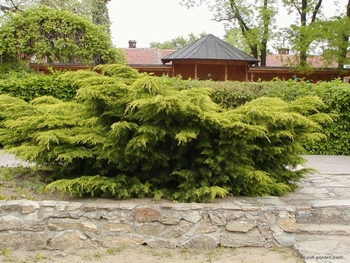 Pfitzeriana Aurea  - saksija 30-40 cm  kom