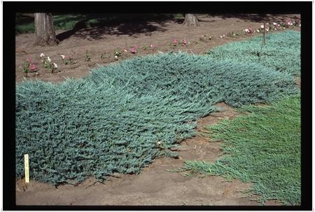 Juniperus Glauca - saksija   kom
