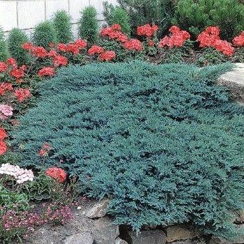 Juniperus Glauca - saksija 30-50 cm  kom