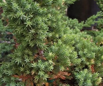 Juniperus Horizontalis - Prostrata - saksija   kom