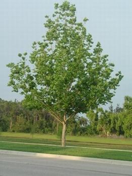 Javorolisni platan - 30-50 cm  kom