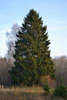 Picea abies 200 - 250 cm  kom