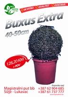 Buxus Extra 40-50cm   kom