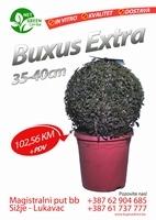 Buxus Extra 35-40cm   kom