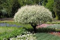 """Salix integra """"Hakuro-nishiki"""" 180 cm stem P26  kom"""