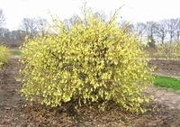 Corylopsis pauciflora P19 - 40 cm  kom