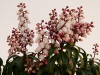 """Pieris japonica """"Bonfire"""" P17 20-25 cm  kom"""