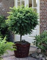 Robinia ps. Umbraculifera C15-180 cm   kom