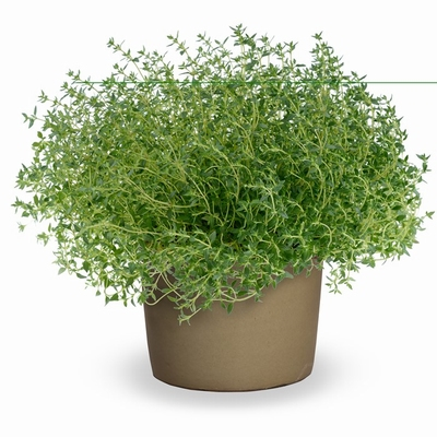 Thymus vulgaris 0,5  lit.