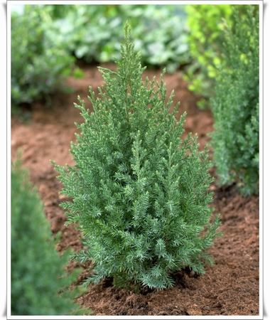 Juniperus Stricta   kom