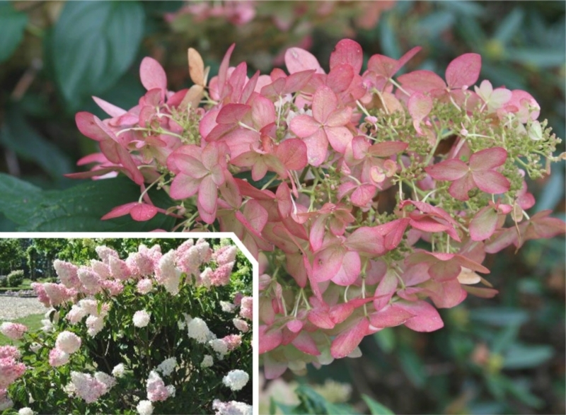 Hydrangea Pink Lady P9   kom