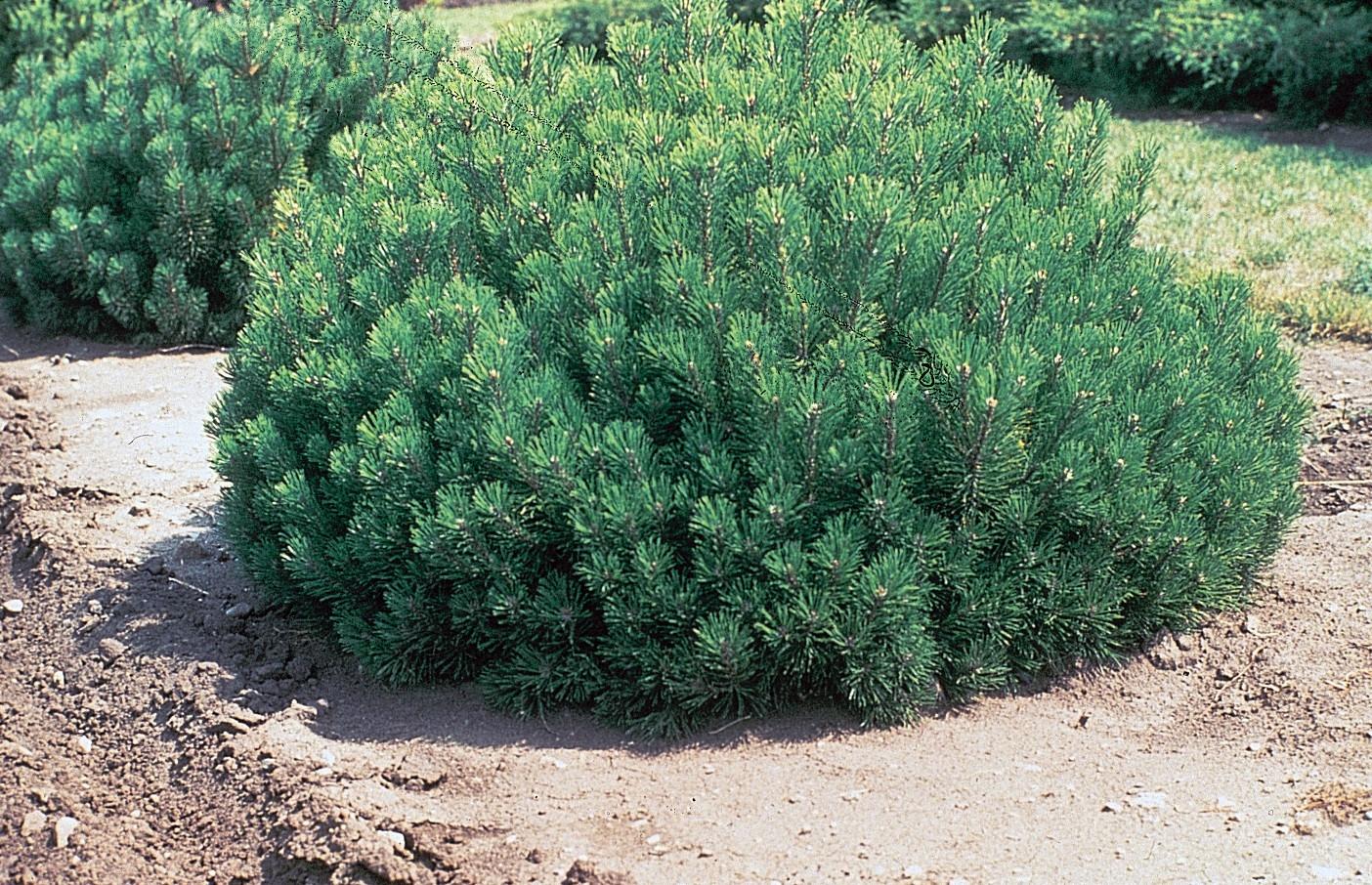 Patuljasti bor Pinus mugo P9  kom