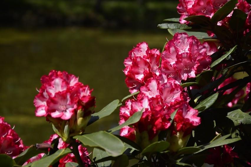Rhododendron Ann Lindsay 1,5l  kom