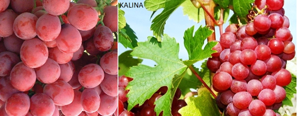 Vinova loza - Kalina red P9  kom