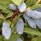 Kamčatska borovnica - Bakczarskij Velikan, saksija 0,5 l  kom