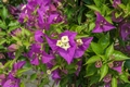 Bugenvilea - Bougainvillea Deep Purple  kom