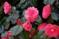 Camellia Japonica - Japanska kamelija kom