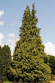 Pačempres Lutea - saksija 30-50 cm kom