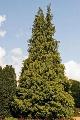 Pačempres Lutea - saksija 50-70 cm kom