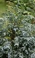 Pjegavi pačempres - saksija 50-70 cm kom