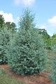 Arizonski čempres - saksija 50-70 cm kom