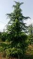 Himelajski kedar - saksija 30-50 cm kom