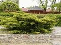 Pfitzeriana Aurea  - saksija 40-60 cm kom