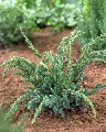 Juniperus squamata Meyeri - saksija 30-50 cm kom