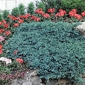 Juniperus Glauca - saksija 20-30 cm kom