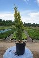 Pačempres Alumigold - saksija 15-30 cm kom