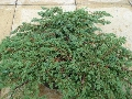 Juniperus Horizontalis - Prostrata - saksija 30-50 cm kom