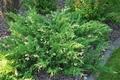 Juniperus Variegata - saksija  kom