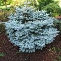 Plavičasta Smrča - bodljikava - 100-150 cm kom