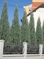 Juniperus Skyrocket - saksija  kom