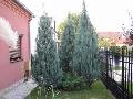 Juniperus Skyrocket - saksija 30-50 cm kom