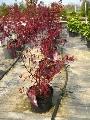 Crveni hrast - 100-150 cm kom