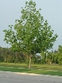Javorolisni platan - 100-150 cm kom