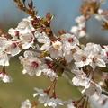 Japanska trešnja KOJOU-NO-MAI kom
