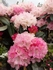 Rhododendron 70 cm stem C35  kom