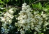 Robinia pseudoacacia C15 kom
