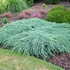 Juniperus Blue Carpet 30 - 50 cm kom
