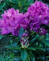 Rhododendron Azurro 1,5l kom
