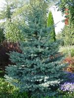 Smreka Picea Kaibab 1,5 lit.  kom