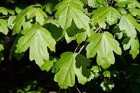 Acer campestre - Acer campestre 30-50 cm kom