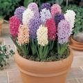 Hyacinthus - Zumbul  kom